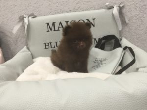 Chocolate Teacup Pomeranian