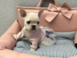 Tiny French Bulldog For Sale