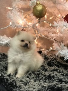Tiny Teacup Cream Teddybear Pomeranian