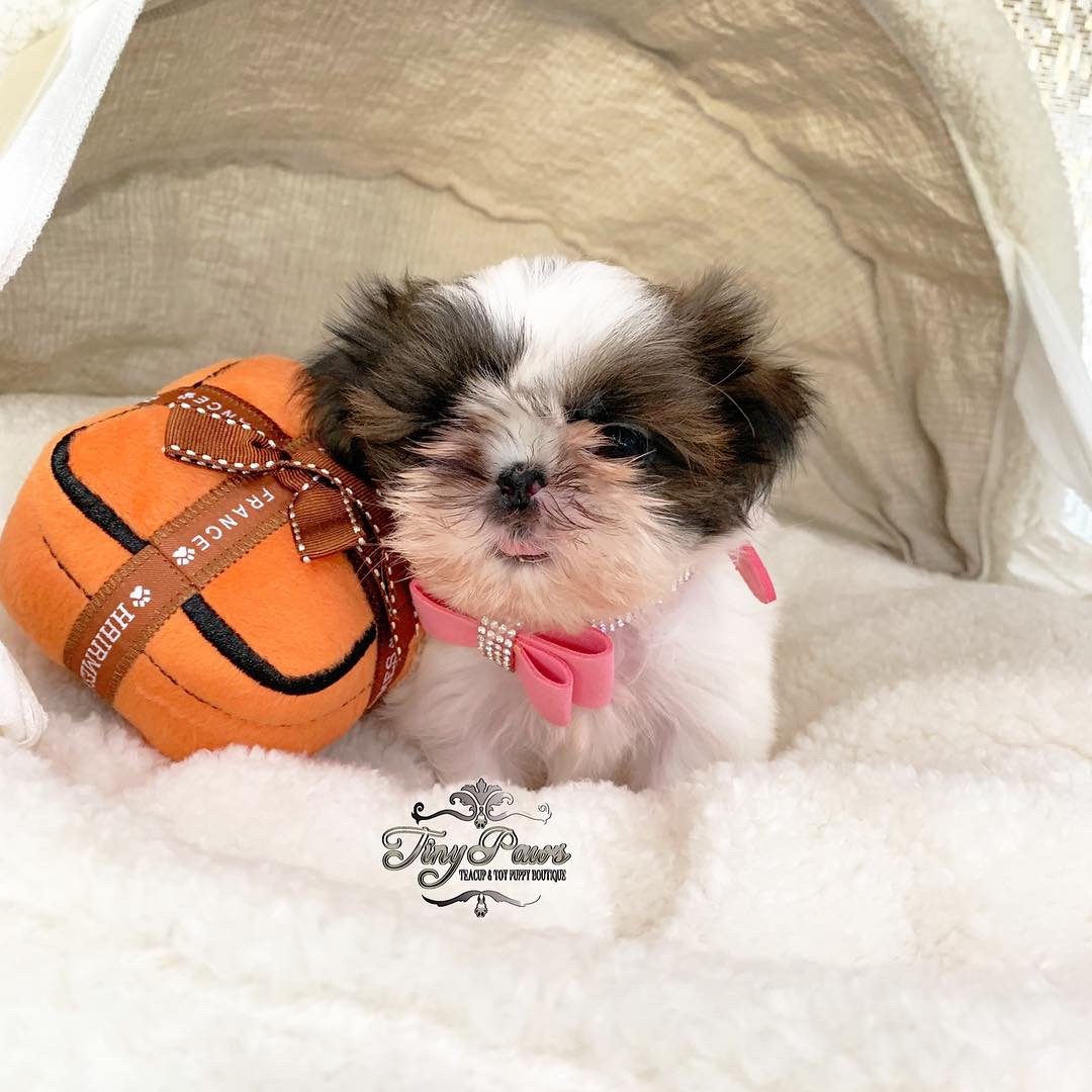 Tiny Teacup Imperial Shihtzu Puppy For Sale - Tiny Paws
