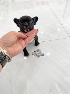 Tiny French Bulldog Puppy for sale Miami