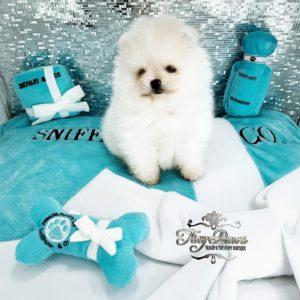 Tiny Teddybear Pomeranian Puppy For Sale