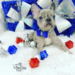 Mini Blue & Lilac Merle Frenchie Puppy For Sale