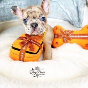 Rare Mini Chocolate Fawn Merle French Bulldog Puppy For Sale