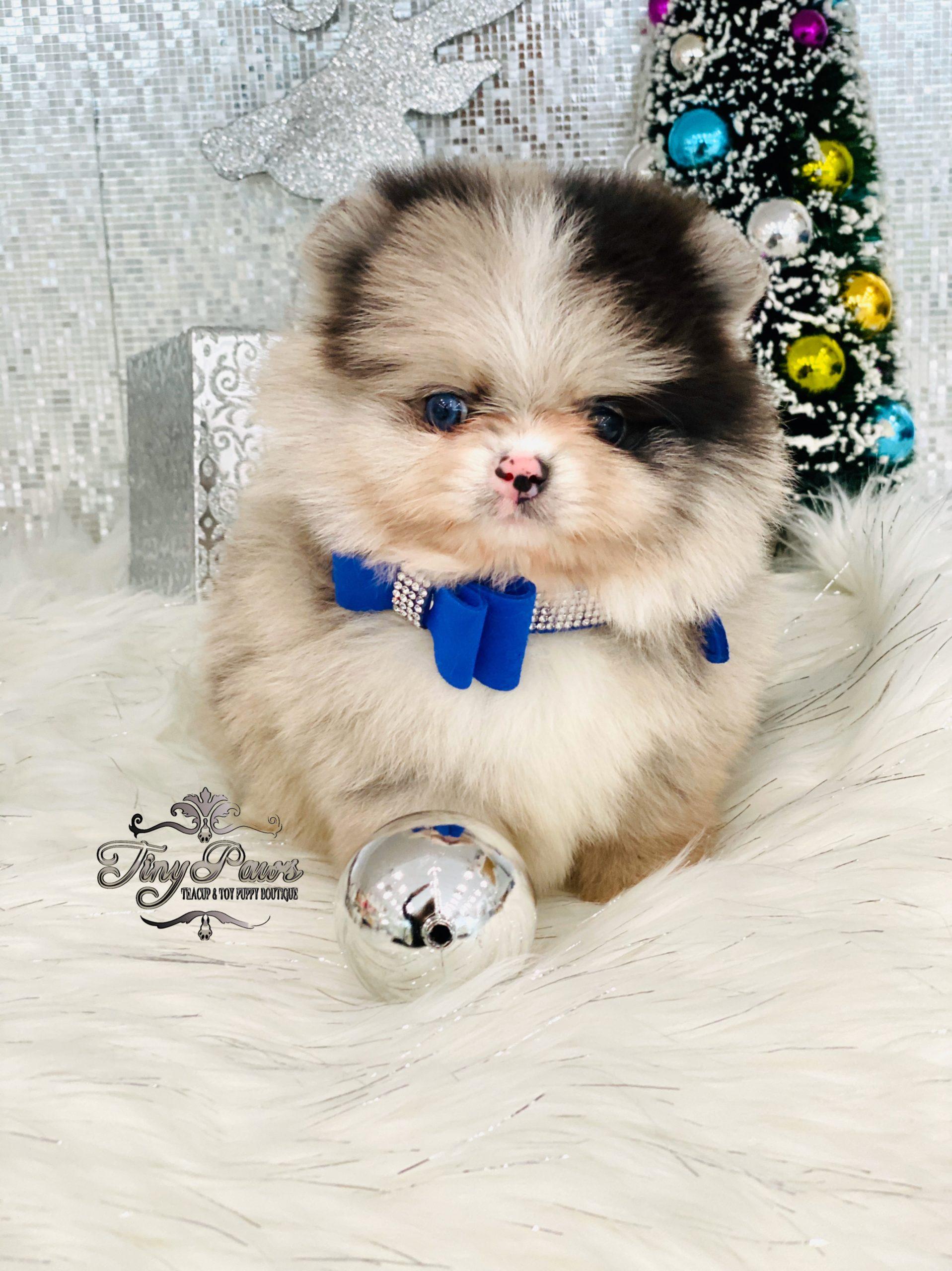 Rare Blue Fawn Merle Teacup Pomeranian