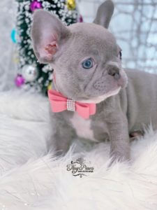 Mini Lilac French Bulldog Puppy For Sale