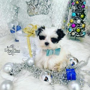 Oreo teacup Morkie Puppy For Sale