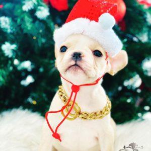 Mini Cream Frenchie ( French Bulldog) Puppy For Sale