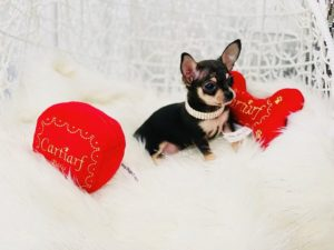 Micro Tiny Apple-Head Chihuahua Puppy For Sale