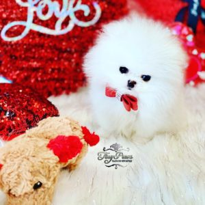Tiny White Teacup Pomeranian Puppy For Sale