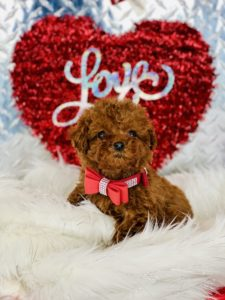 Tiny Teacup Red Poodle Puppy For Sale
