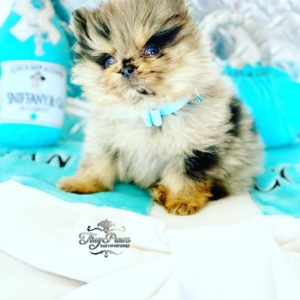 Blue Fawn Merle Teacup Pomeranian Puppy For Sale