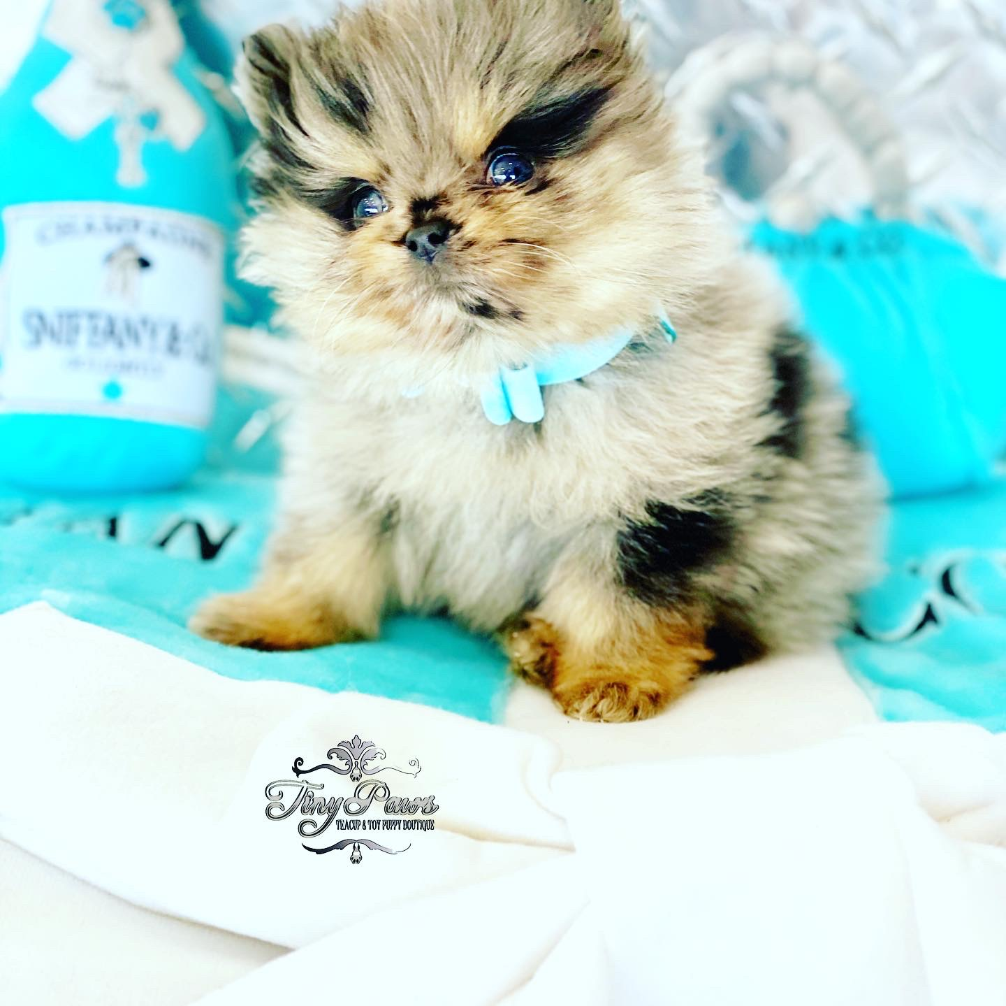 Blue Fawn Merle Teacup Pomeranian Puppy For Sale Tiny Paws