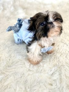 Tiny Teacup Shih Tzu Puppy