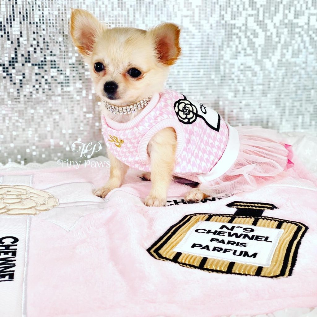 Tiny Teacup Long Coat Chihuahua Puppy For Sale