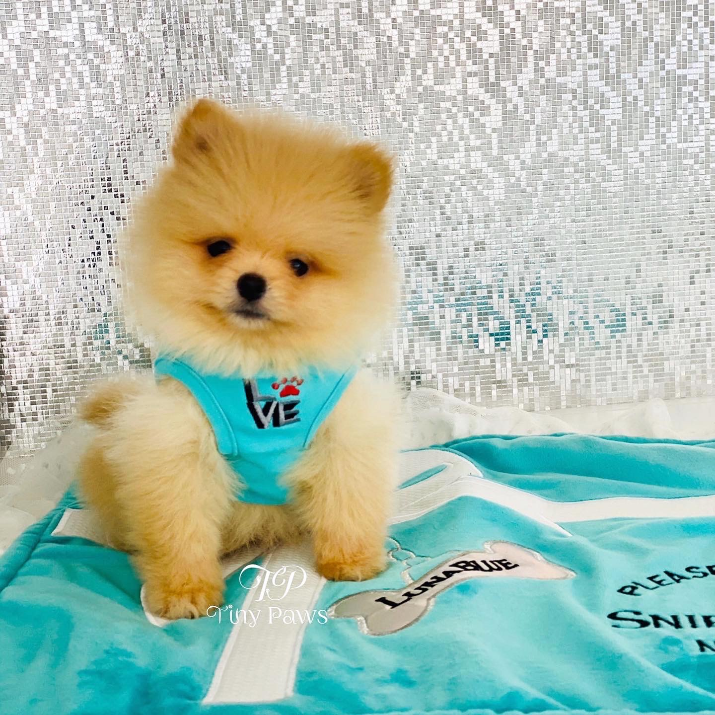 Teacup Pomeranian Puppy For Sale Tiny Paws
