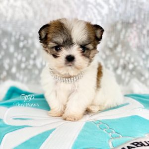 Micro Tiny Teacup Malshi Puppy For Sale
