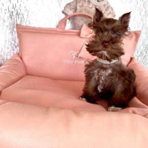 Tiny Teacup Mini Schnauzer Puppy For Sale