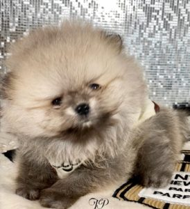 Extreme Teddybear Pomeranian Puppy For Sale
