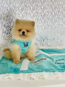 Teddybear Pomeranian Puppy For Sale