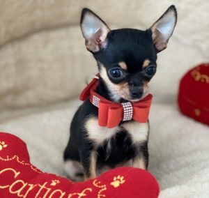 Tiny Apple Head Teacup Chihuahua Puppy For Sale