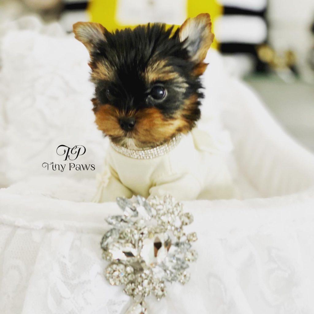 Jacky Tiny Teacup Yorkie Puppy For Sale