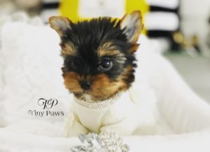 Jacky Tiny Teacup Yorkie Puppy For Sale