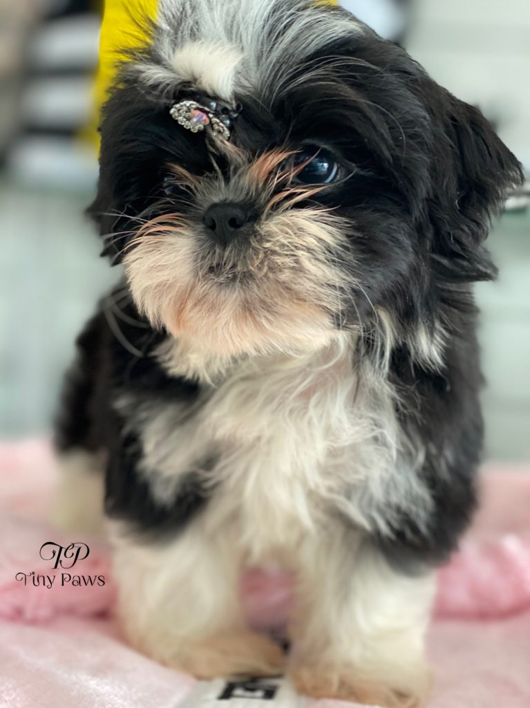 Candy Gorgeous Imperial Shih Tau Puppy For Sale