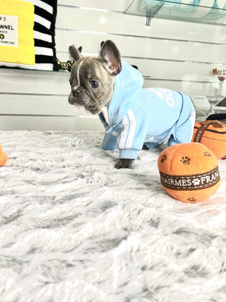 Hurricane Rare Tiny Mini Blue French Bulldog Puppy For Sale