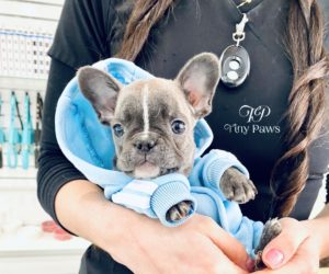 Hurricane Rare Tiny Mini Blue French Bulldog Puppy For Sale