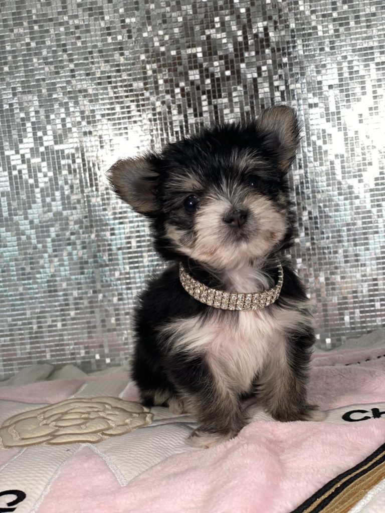 Tiny Teacup Morkie Puppy For Sale
