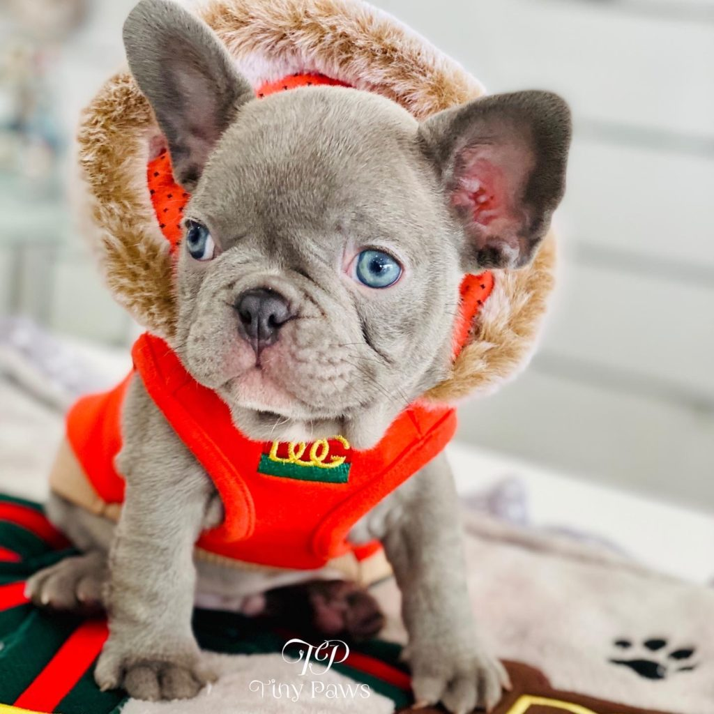 Soho Lilac French Bulldog Puppy For Sale With Blue Eyes