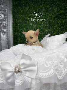 Rose Tiny Teacup Apple-Head Chihuahua Puppy