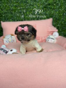 Fifi Tiny Yorkiepoo Puppy Fore Sale