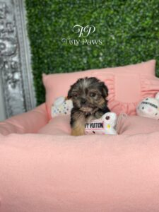 Fifi Tiny Yorkiepoo Puppy Fore Sale