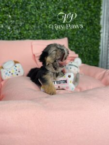 Fifi Tiny Yorkiepoo Puppy For Sale