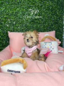 Teacup Maltipoo Puppy For Sale