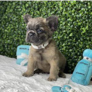 Dynamite Rare Fluffy French Bulldog Puppy For Sale