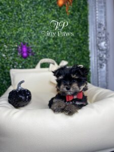 Mio Tiny Morkie Puppy For Sale