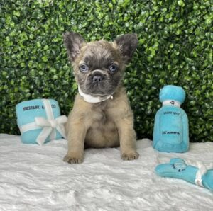 Dynamite Rare Fluffy French Bulldog Puppy For Sale