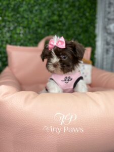Imperial Shih tzu Puppy For Sale