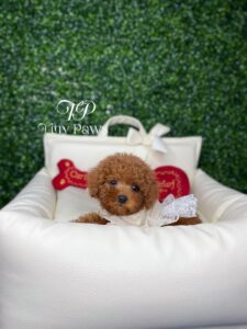 Ruby Teacup Red Poodle Puppy