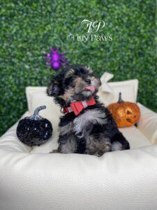 Mio Tiny Morkie Puppy For Sale