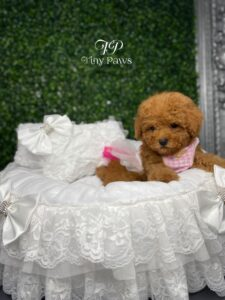 Scarlet Tiny Teacup Red Poodle Puppy