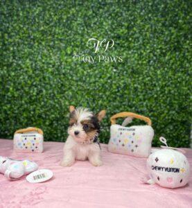 Micro Tiny Teacup Biewer Yorkie Puppy