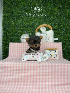 Micro Tiny Female Yorkie Puppy For Sales