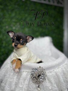 Tiny Teacup Black & Tan Chihuahua For Sale