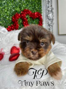 Tiny Chocolate Yorkie Puppy For Sale