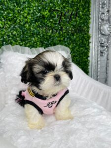 Tiny Imperial Shih Tzu Puppy For Sale
