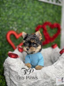 Tiny Yorkie Puppy For Sale